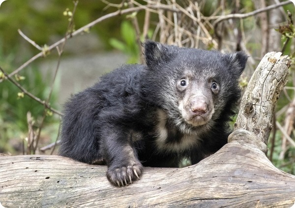 Зоопарк Вудленд-Парк представил детенышей медведя-губача
