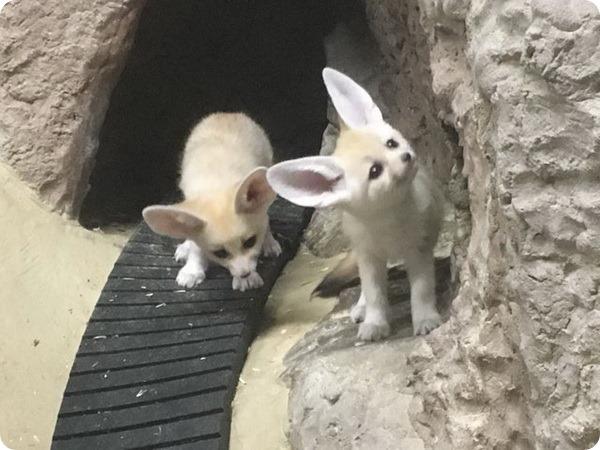 В семье фенеков из зоопарка Capron Park пополнение!