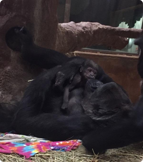 В Национальном зоопарке родился детеныш редкой гориллы