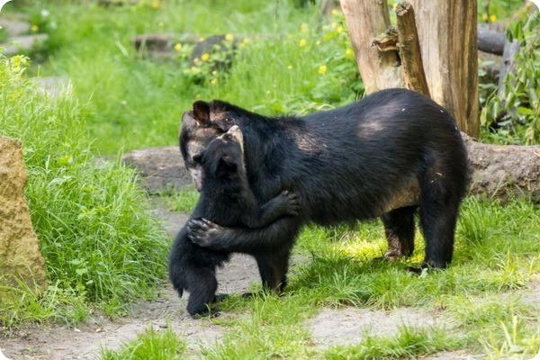 Зоопарк Берлина представил детеныша очкового медведя