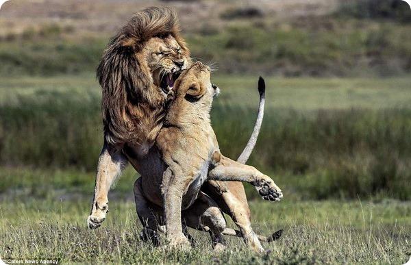 Фото из Танзании: Львиная любовь