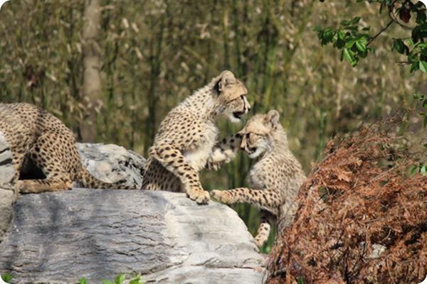 В зоопарке Сент-Луиса состоялся дебют детенышей гепарда