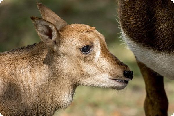 В зоопарке Майями родились два детеныша редких антилоп