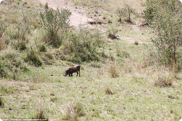 Схватка беременной самки леопарда с бородавочником