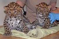 В зоопарке Брукфилда родились редкие амурские леопарды