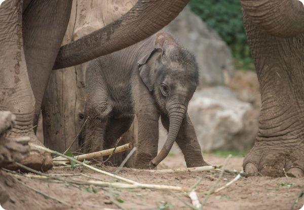 В зоопарке Честера с опозданием родился азиатский слоненок