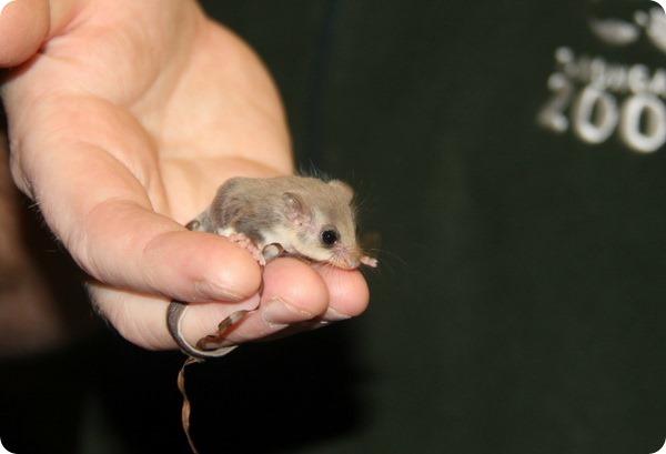 В зоопарке Таронга родилось 33 детёныша летучего кускуса!