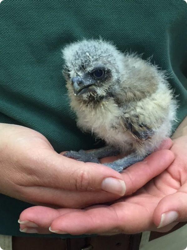 Кроличий сыч из Вудлэнд-зоопарка покоряет сердца
