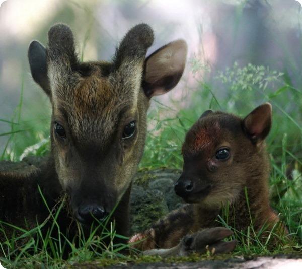 В зоопарке Эдинбурга родился редкий филиппинский олененок