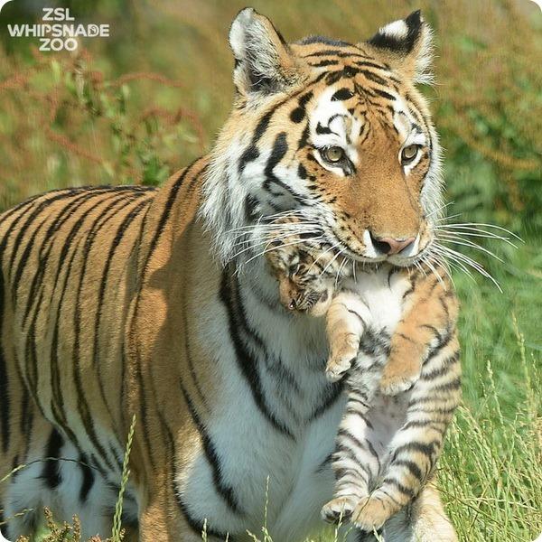 Первая прогулка амурских тигрят в зоопарке Уипснейда