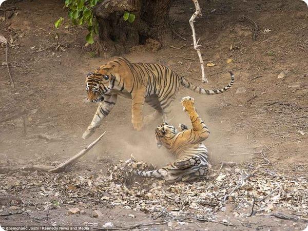 Большие кошки Индии: битва тигра с тигрицей за территорию