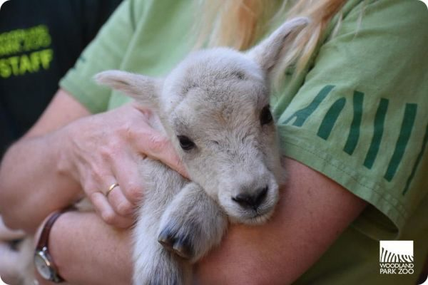 У пары снежных коз из Woodland Park появилось потомство