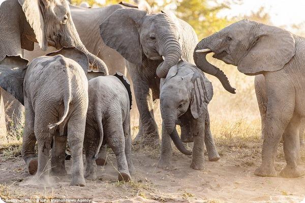 Игры молодых слонов в Национальном парке Крюгера