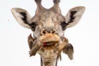 Как в Танзании буйволовые скворцы чистят зубы жирафам