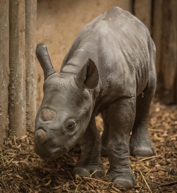 На очах відвідувачів зоопарку Честера народилося дитинча носорога - все про ...