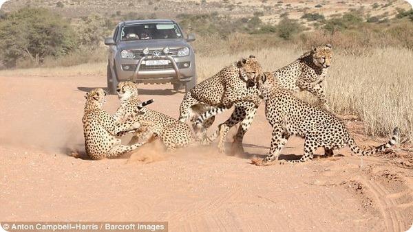 В одном из парков Ботсваны гепарды устроили драку из-за самки