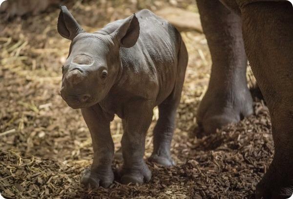 На глазах посетителей зоопарка Честера родился детеныш носорога