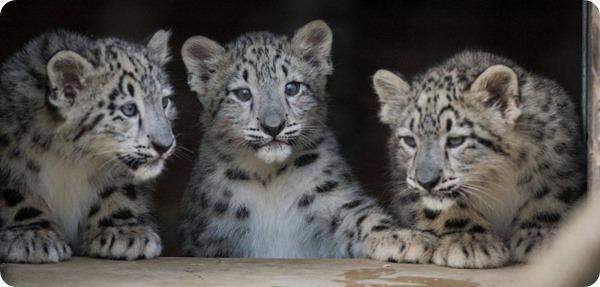 Зоопарк Кливленда представил детенышей снежного барса