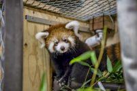В зоопарке Милуоки родился детеныш красной панды