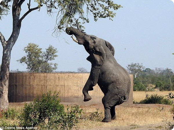 Слон-гурман из Национального парка Крюгера