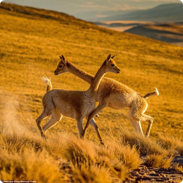 Спарринг между двумя викуньями в пустыне Атакама
