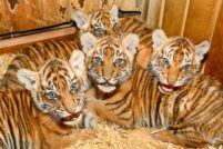 Зоопарк Берлина представил суматранских тигрят