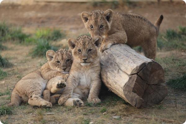 Львятам из зоопарка Боваль дали имена