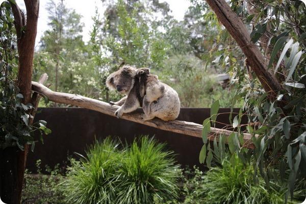 Детеныш коалы из заповедника Хилсвилл покинул сумку матери
