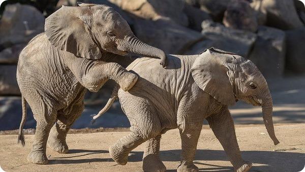 Игривые африканские слонята из зоопарка Сан-Диего