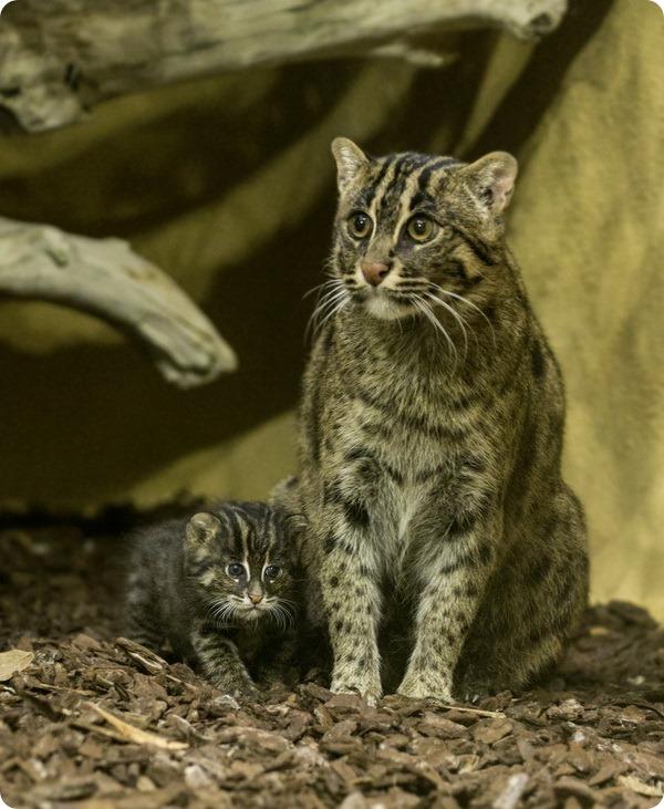 В зоопарке Хеллабрунн родился детеныш кошки-рыболова