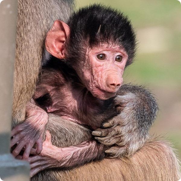 В зоопарке Окленда родился детеныш гамадрила