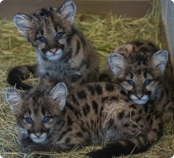 Зоопарк Оклахомы представил детенышей горного льва