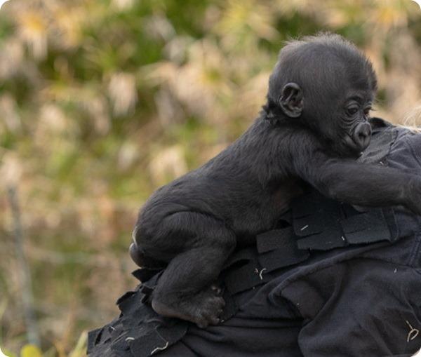 В зоопарке Джексонвилля растят детеныша редкой гориллы