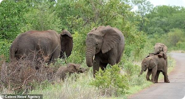 Слонята из Национального парка Крюгера наслаждаются игрой