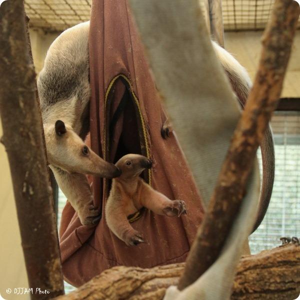 Детенышу тамандуа из зоопарка Цинциннати дали имя