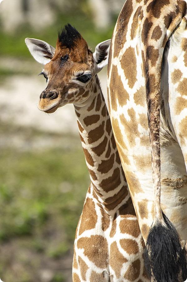 В зоопарке Майами состоялся дебют детёнышей жирафа