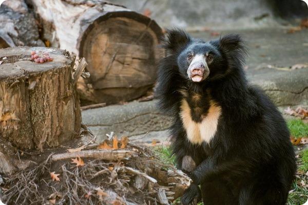 В зоопарке Кливленда родился первый детеныш медведя-губача