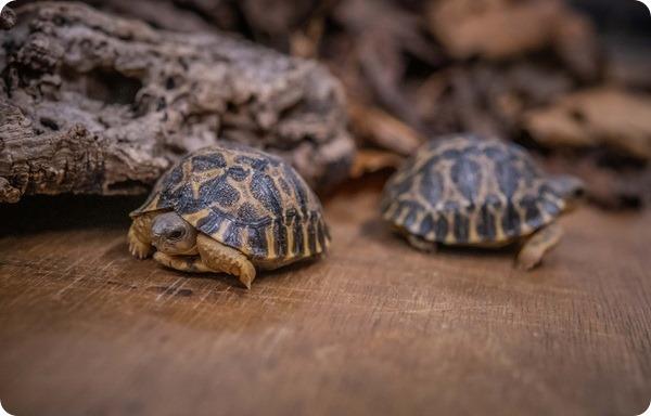 В зоопарке Честера появились две редкие лучистые черепахи