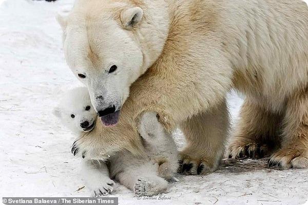 Фотографии белых медвежат из зоопарка Новосибирска
