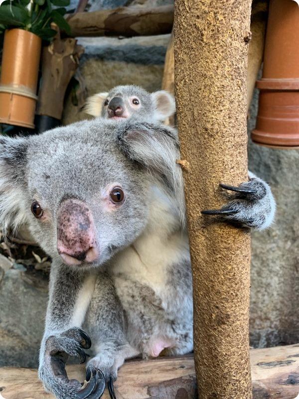 Зоопарк Эдинбурга представил детеныша коалы