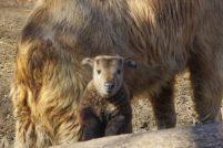 В зоопарке Вроцлава родился первый в истории Польши такин