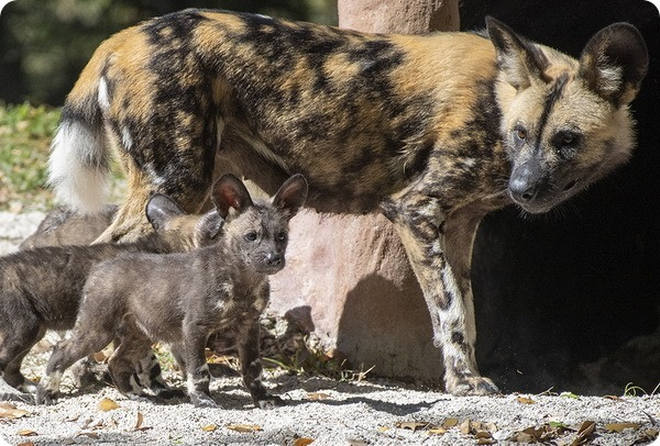 Щенки гиеновидной собаки из зоопарка Майями