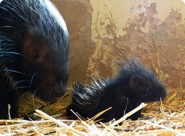 В парке дикой природы Котсуолд родились детёныши дикобраза