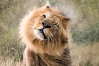 Лев отряхивает мокрую гриву в Национальном парке Серенгети