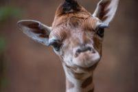В зоопарке Честера родился детёныш редкого жирафа Ротшильда