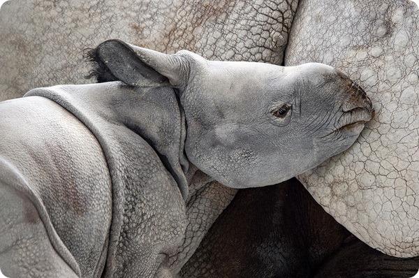 Зоопарк Майями: Встречайте детёныша индийского носорога!