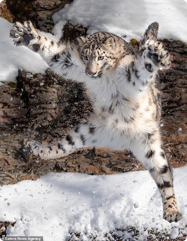 Снежный барс из Национального парка Глейшер в прыжке