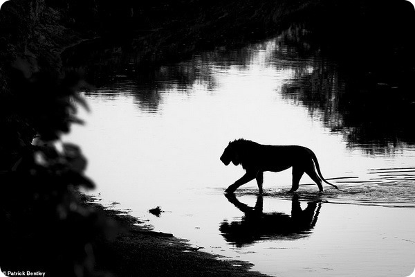 Лучшие фотографии для книги «Вспоминая львов»