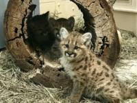 Осиротевшие детёныши пумы осваиваются в зоопарке Шайенн