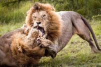 Взрослые самцы льва сражаются за внимание самки